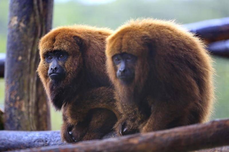 Secretaria de Saúde confirma morte de macaco por febre amarela em Garuva
